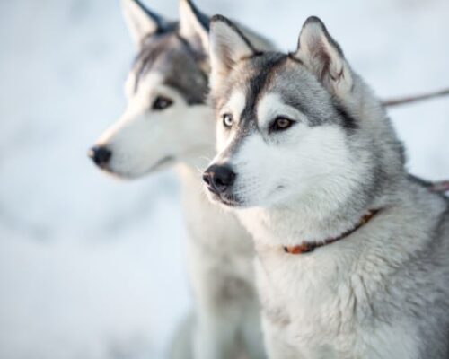 Stag Husky Trekking